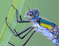 Photo Series: Nature / Case 21: Emerald Damselfly