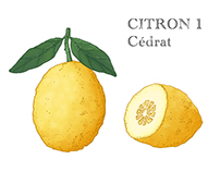 Lemon Citron / motion illustration