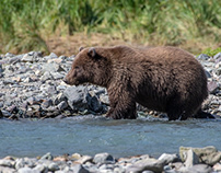 Alaska, Itchy grizzly cub