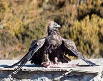 Le repas de l'aigle royal