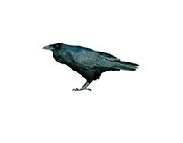 Studio di corvi