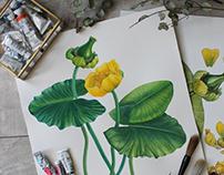 Watercolor Nuphar lutea/Речная кубышка, акварель