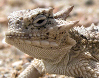 Dixon Horned Toad