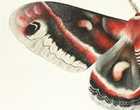 Watercolor - cecropia moth