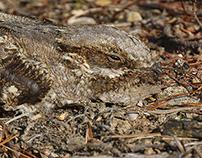 Perfect camouflage - Caprimulgus europaeus