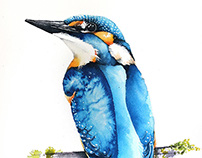 Kingfishers watercolours illustrations