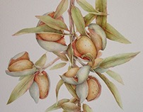 Almonds... Watercolor 50x70 cm.