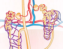 Cortical and Juxtamedullary Nephrons