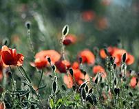 Meadow in Red (June)