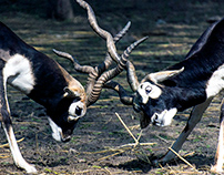 Blackbuck Territorial Fight