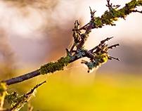 Woolly branch