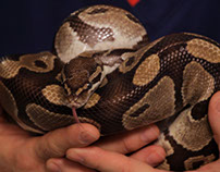 Caring for a Pet Ball Python