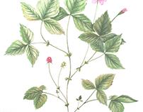 Botanical Illustration Vol 3