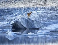 Animal Kingsland - Iceland