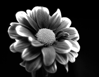 Black and white Chrysanthemum