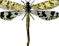 Entomological Illustrations