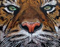 Sumatran Tiger - 2016