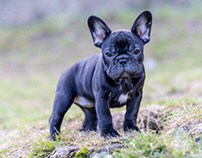French Bulldog Welpen