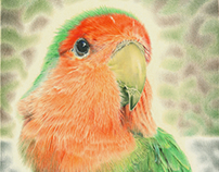 Lovebird 'Pilaf' pencil drawing