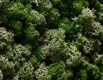 Reindeer lichen closeup.Moss texture