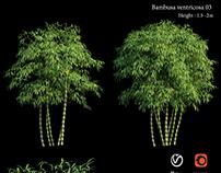 Bambusa ventricosa 03