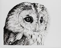 Tawny Owl Drawing