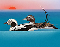 Ducks In Baltic Sea