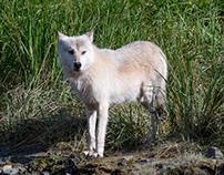 Alaska, Wolf
