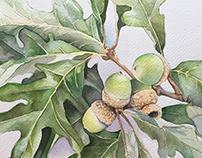 White oak leaves and acorns