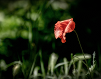 Yearning... (the first poppy in my garden)