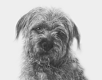 Border Terrier Pencil Illustration