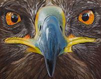 Eagle - 2016