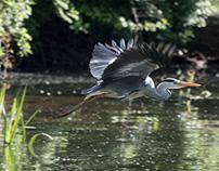 Local Grey Heron