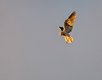 Black-Shouldered Kite, hovering