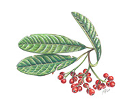 Wild Berries Illustration