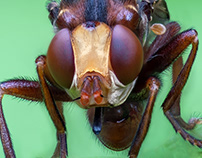 Nature / Case 34: Sicus ferrugineus