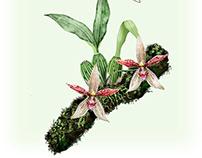 Paphinia rugosa