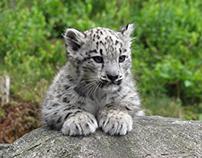 Baby white tiger 😍😍😭😭