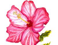 Pink hibiscus watercolor