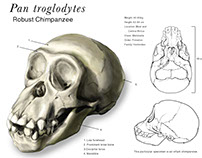 Pan troglyodytes
