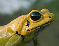 CGI Golden Poison Dart Frog
