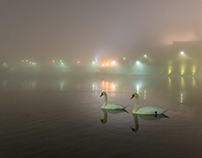 Swans on the Vistula River