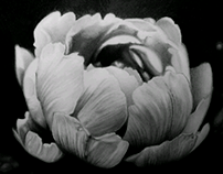 """""""Peony"""" pencil on paper .size 11""""x14"""""""
