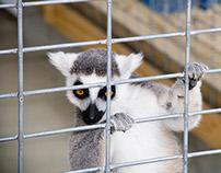 Lemurs 2015