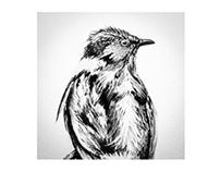 Ilustración científica - aves