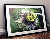 Passiflora - Passion Fruit Flower Photography