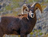 Lookout Mountain Bighorns