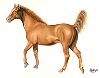 Equestrian Illustrations