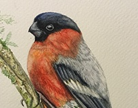 bullfinch studio, watercolor