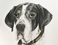 Meg - English Pointer
